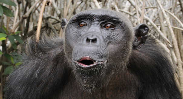 Fight erupts between scientists over whether chimps have accents