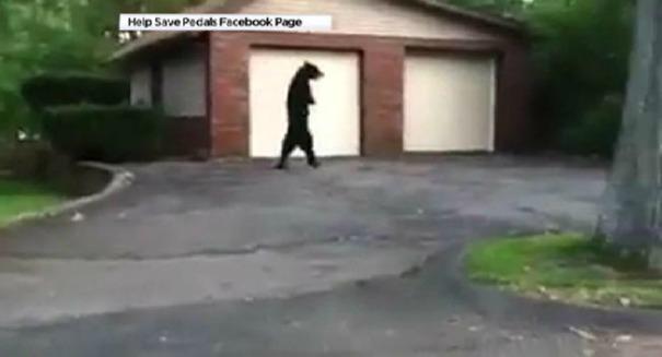 Huge uproar after bizarre walking bear dies suddenly