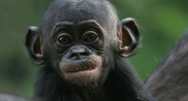 Scientists astonished to find Bonobo monkeys talk like human babies