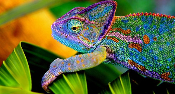 Scientists amazed after discovering this fact about chameleons