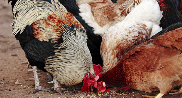Kissing, cuddling chickens are causing salmonella outbreaks