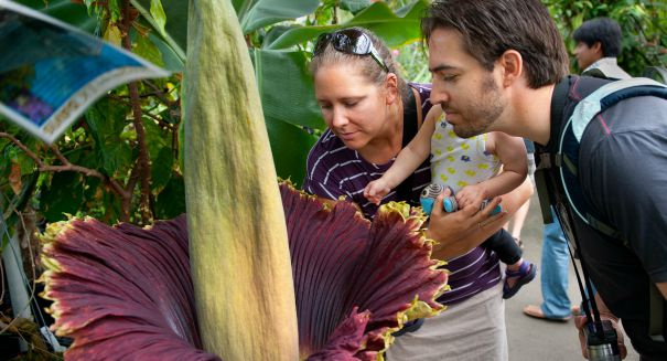 Why isn't the disgusting 'corpse flower' blooming in Chicago?