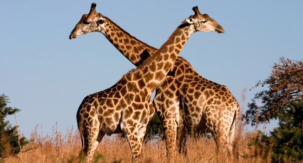 Scientists discover astonishing secrets behind the giraffe's supersized neck