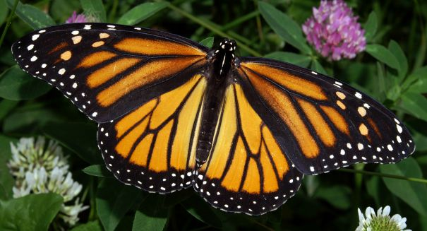 Massive Monarch Butterfly migration begins — and it is spectacular