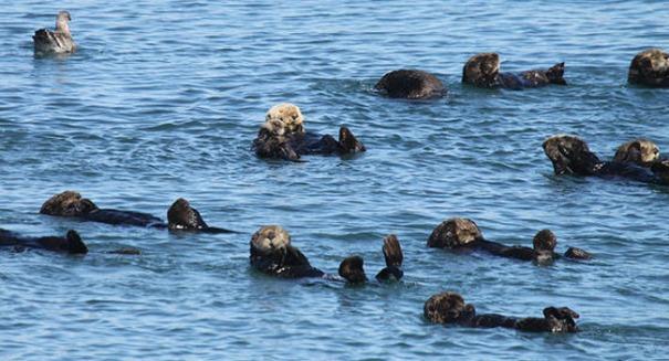 Authorities scramble as gunman shoots endangered otters