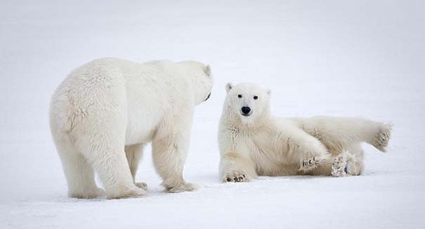 Polar bears are in big trouble